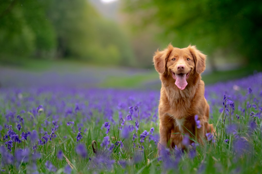 Duck Toller dog photoshoot in the Sussex bluebells