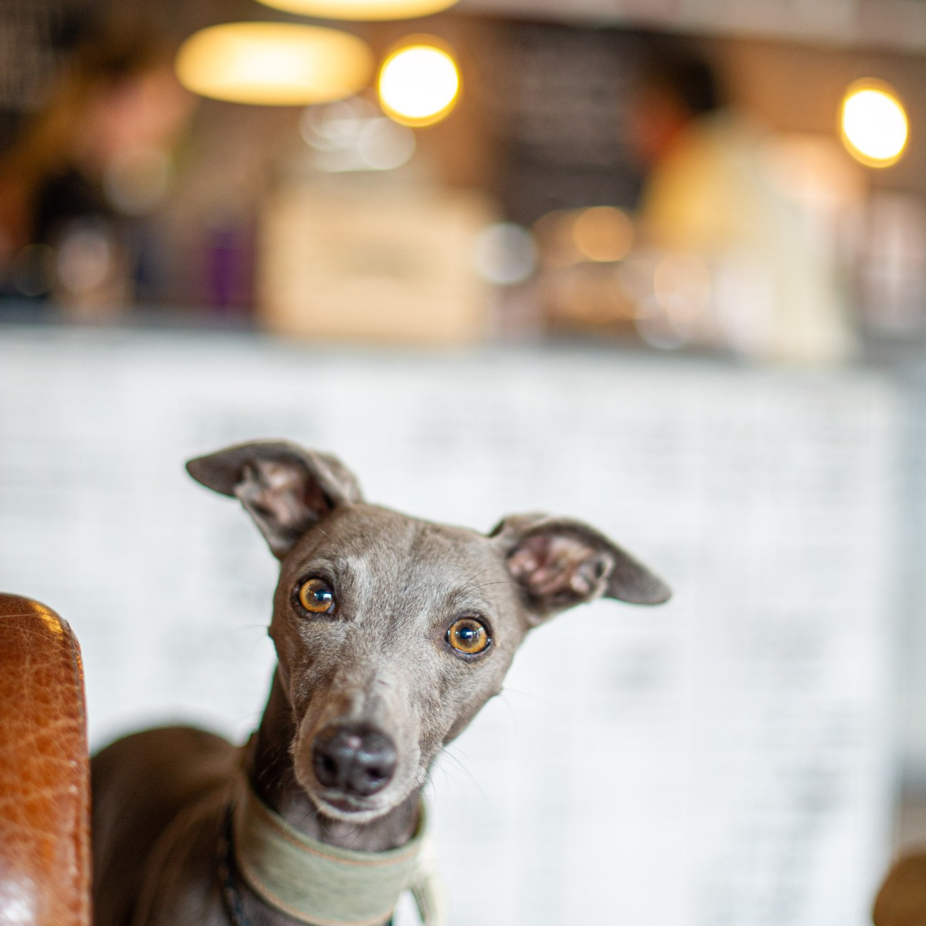 Whippet looking inquisitively in a dog friendly cafe