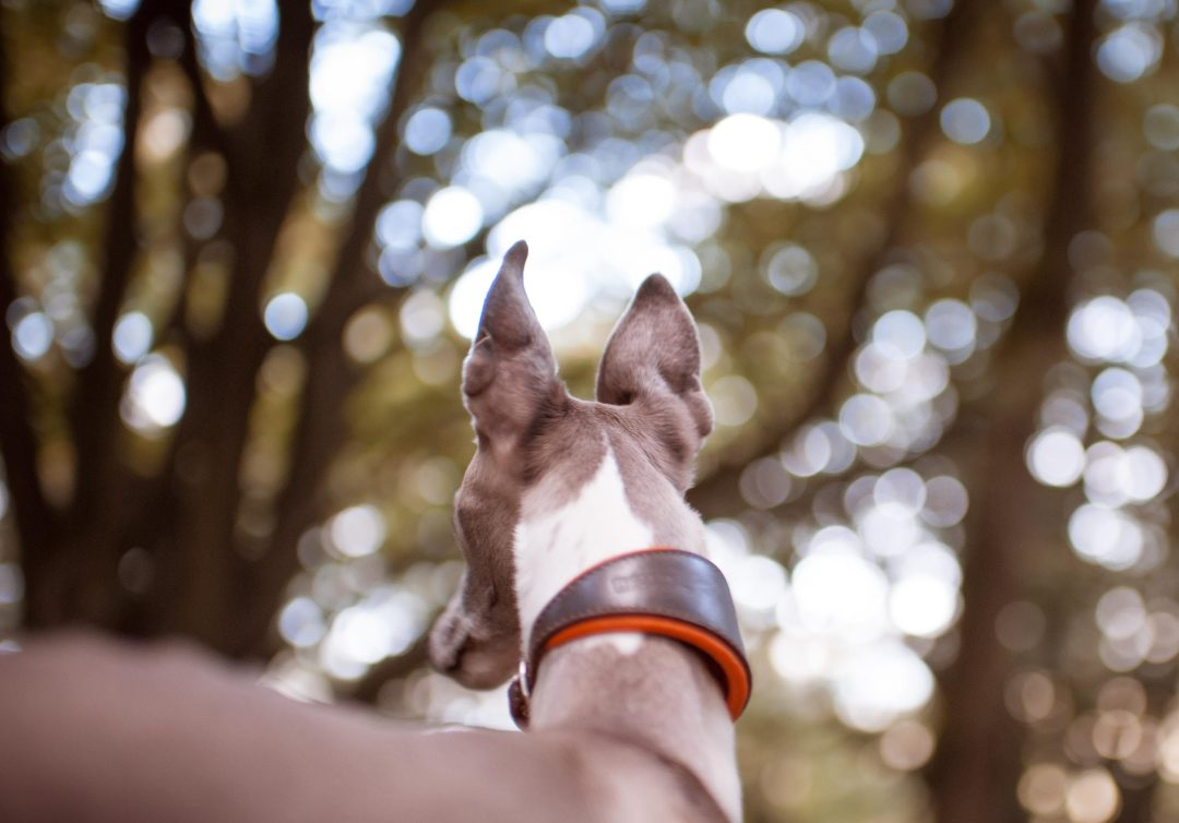 Leather sighthound collar in brown and orange