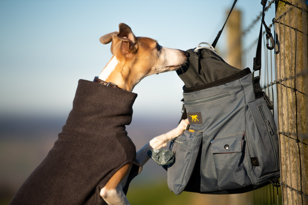 Whippet balancing on back legs to try and look into a dog walking bag