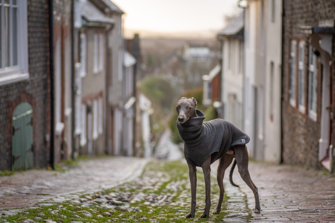 Blue whippet standing in a cobbled street in Lewes
