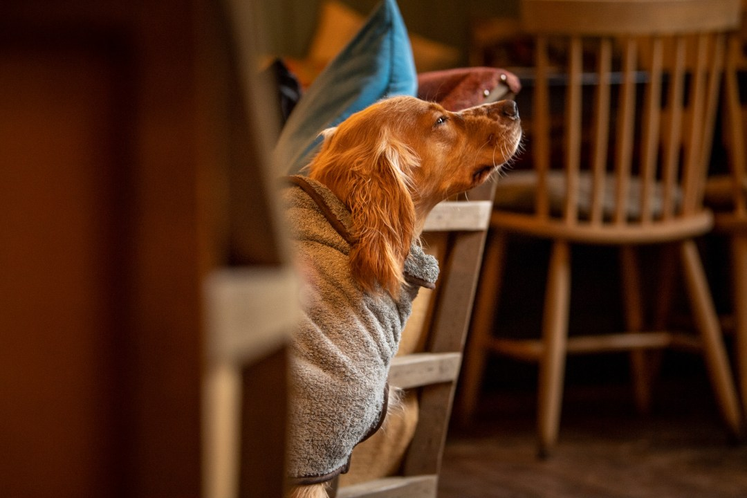 Apricot working cocker spaniel in a dog drying coat sat next to a chair in a pub