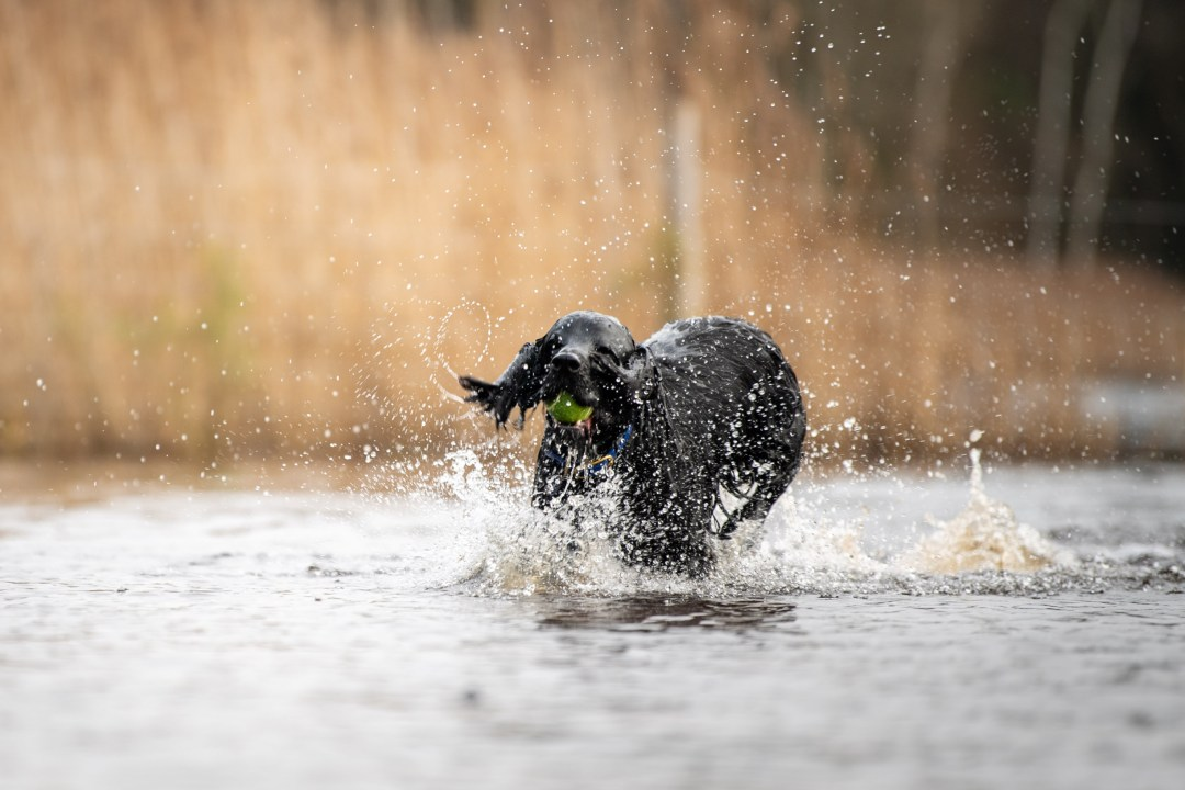 Spaniel running through water with ears covering it's eyes