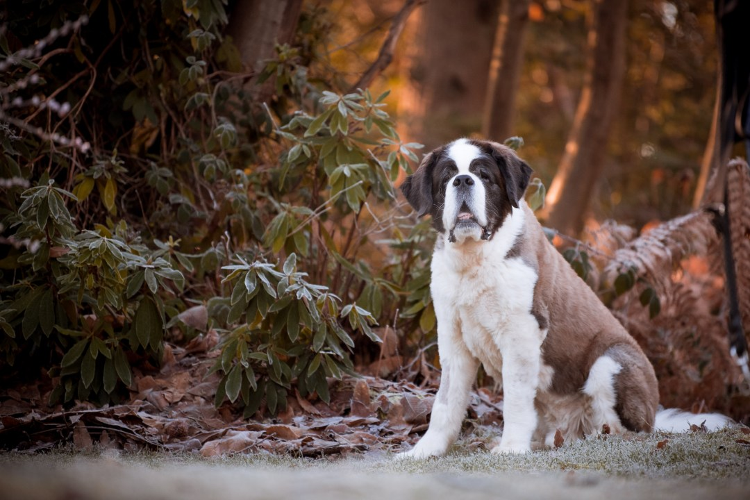 St bernard mountain dog sat in front of trees