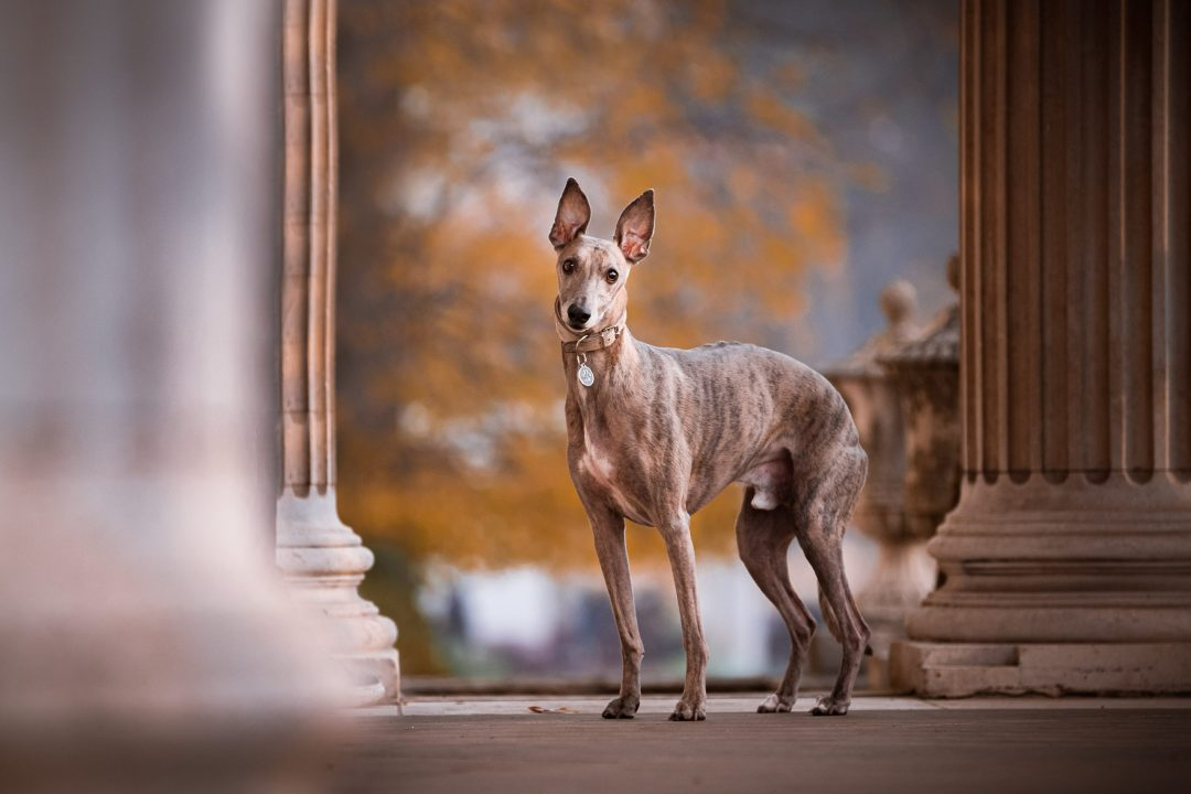 Brindle whippet stood n the porch of Cheswick house with pillars each side.
