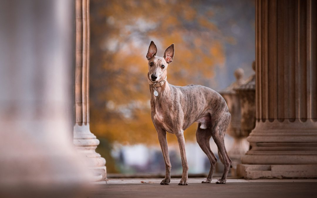 A London Whippet Shoot