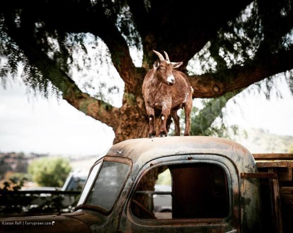 Goat on Truck, Moorpark, CA