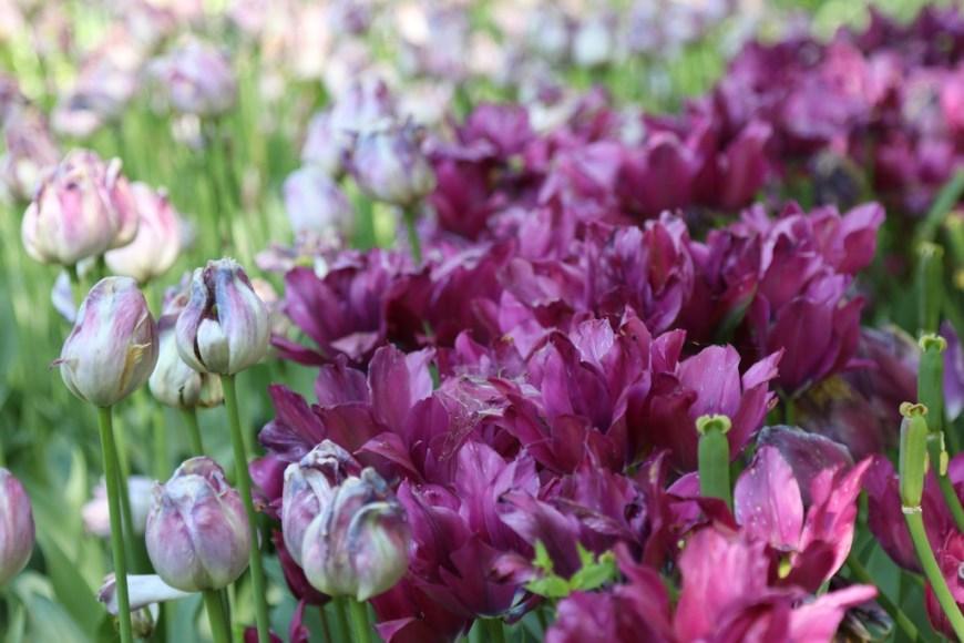 Un'aiuola di tulipani nel giardino del Castello di Pralormo