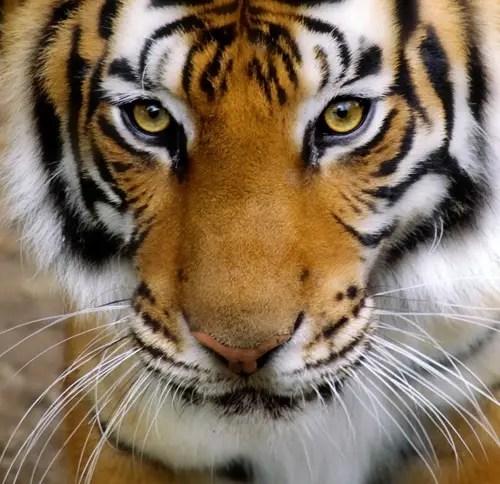 future tiger numbers 2010 2015 2020 extinct