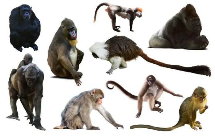 Extinção de primatas futuro da linha de tempo