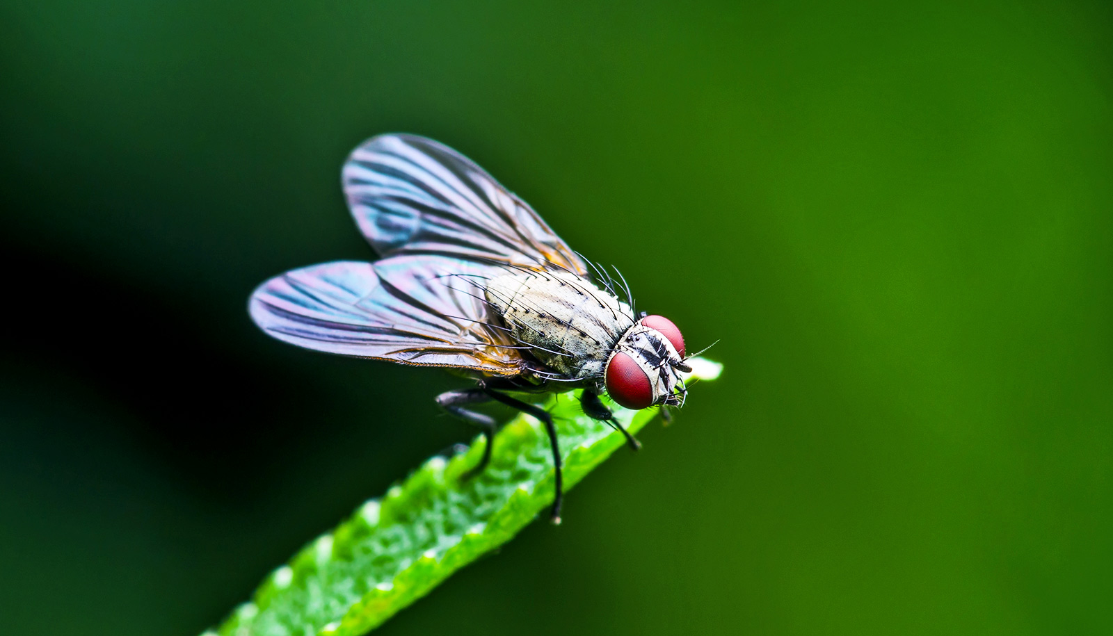 Fruit Fly Wings Hint At How Human Organs Form
