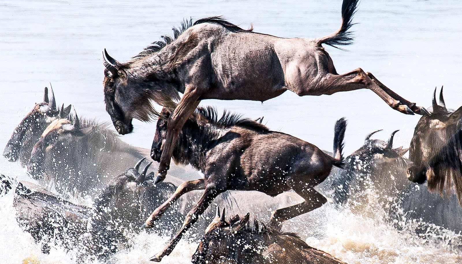 Serengeti Wildlife Feel The Squeeze Of Human Activity