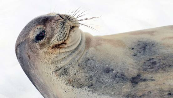 Seals chirp under the Antarctic ice, but we can't hear them