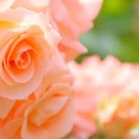 愛の花・ローズ
