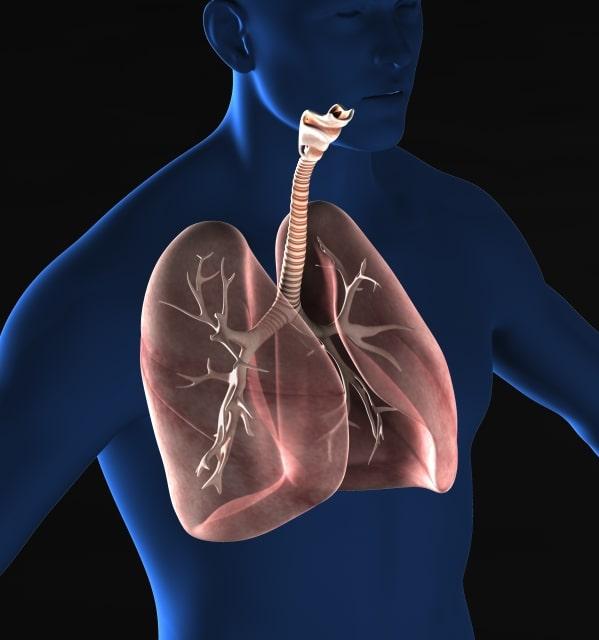 呼吸器系人体図