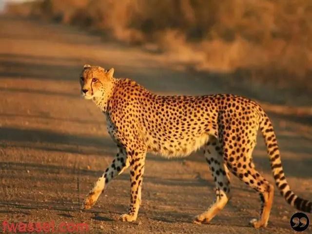هل تعرف ماهو أسرع حيوان في العالم؟