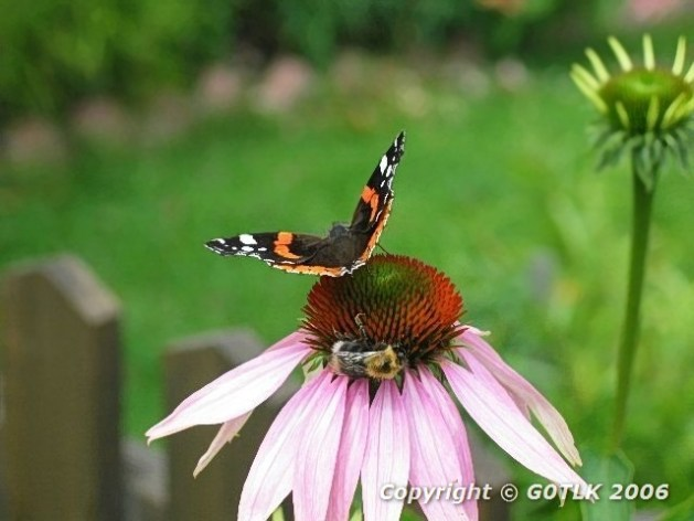 Red Admiral butterfly and bee on flower head
