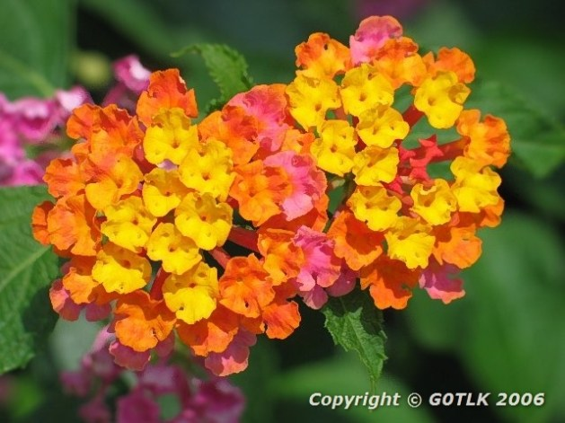 Orange, yellow and pink flowers