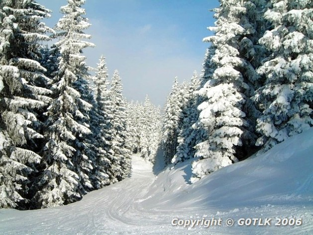Ski track through pine woods