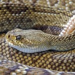 Revista Nature: De ce carnea de şarpe nu este sursa virusului mortal din China