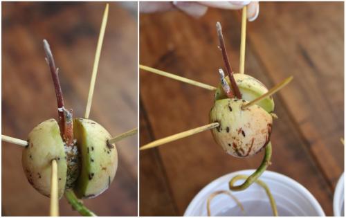 Cum cresti un avocado din samburi