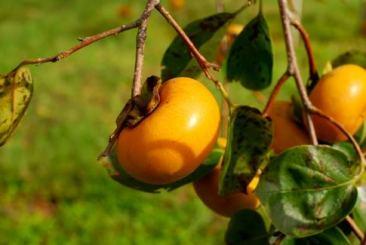 """"""" Fructe Sharon """" este denumirea comerciala pentru un hibrid D. kaki si sunt fructele ale caror astringenta a fost eliminat chimic. Acesta nu contine seminte, are un gust fin, uiar sectionat are forma unei stele. Denumirea vine de la campia fertila Sharon din Israel. De asemenea, Sharon sunt cunoscute si sub denumirea de Fructe mango coreene."""