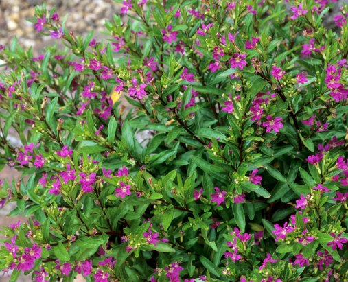 Mexican Heather 1