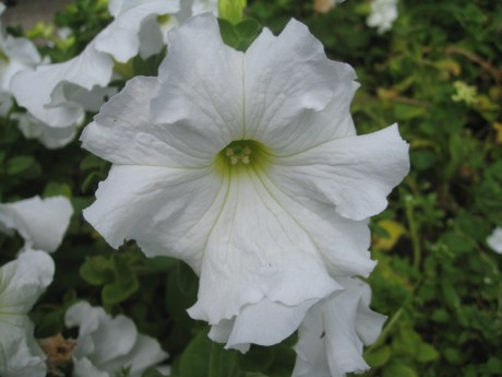 Petunia 3
