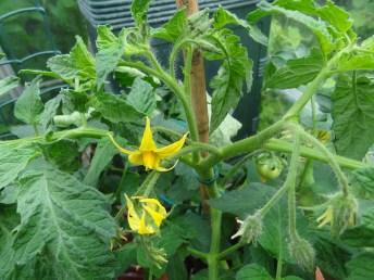 Tomato Beefsteak 3