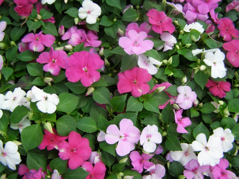 new-guinea-impatiens-3