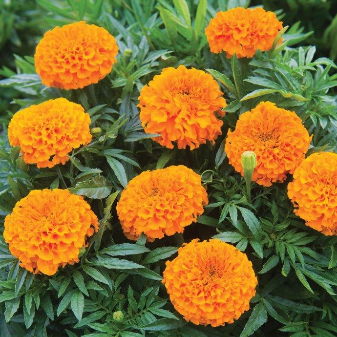 African Marigolds 1