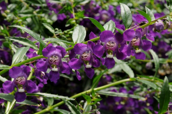 Angelonia Spreading 1
