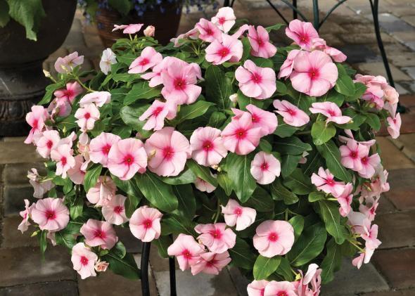Flowering Vinca- cascading 1