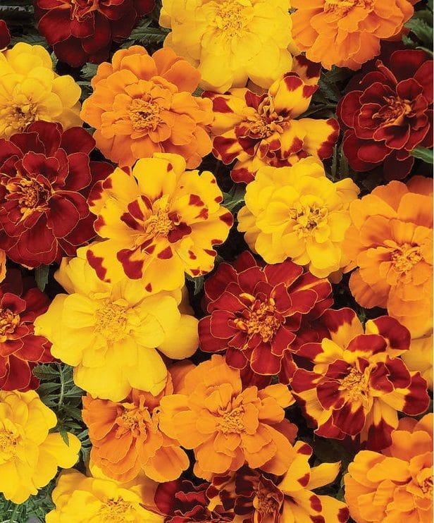 Marigolds 1