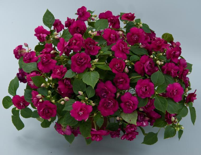 Rosebud Impatiens 1
