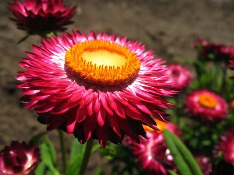 Strawflower 4