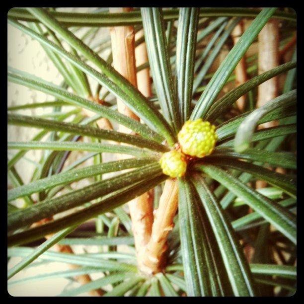 Pine tree buds