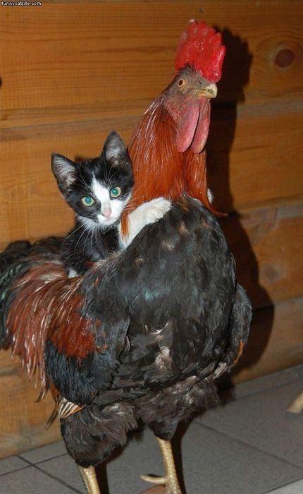 Pisica calareste cocos