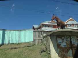 Cal călare pe baracă 2