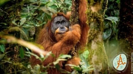 Pongo tapanuliensis great ape
