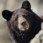 クマはドローンが近づくと心拍数が4倍になる!クマのためにドローンを規制しよう