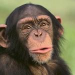【動画】チンパンジーさん、スマホを手に入れご満悦