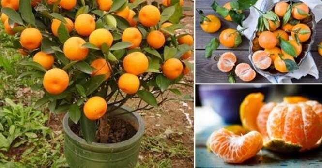 Como cultivar tangerinas em pequenos vasos