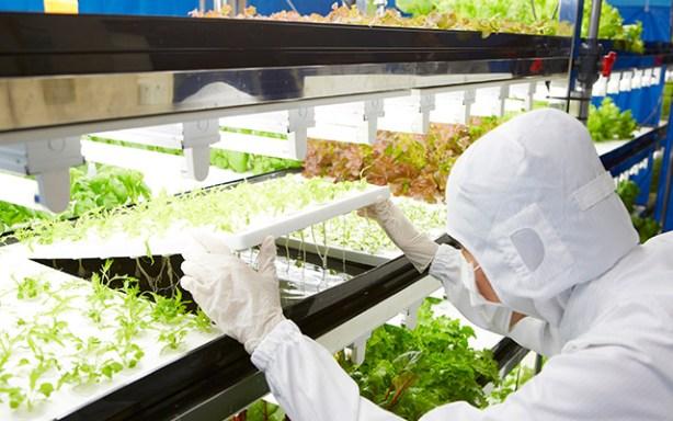 Toshiba venderá a finales de octubre su primera cosecha de verduras y hortalizas de larga duración libres de pesticidas.