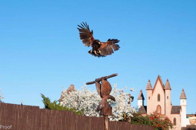 The beautiful birds of the Royal Falconer at the Arizona Renaissance Festival