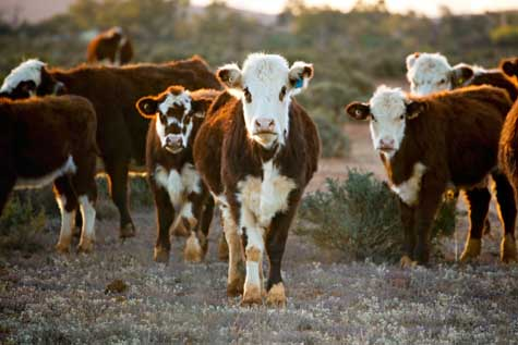 Beef Cattle Business