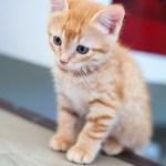 chaton roux