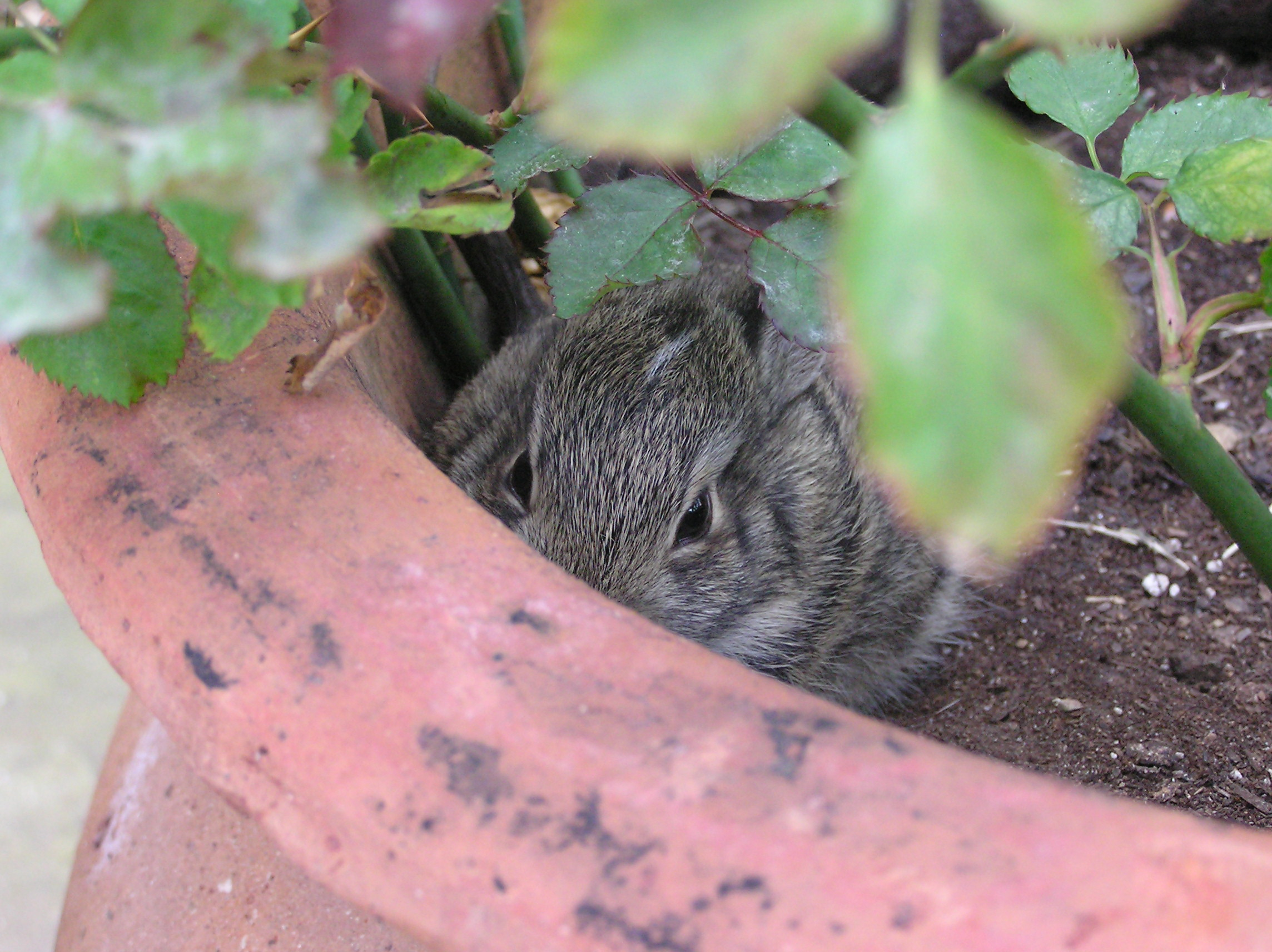 Bunny Has It Made in The Garden Shade of a Potted Rose