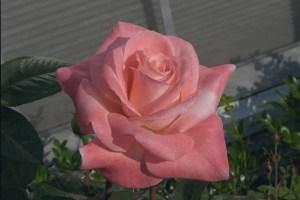 Barbara Bush, Hybrid Tea Rose Gagasgarden
