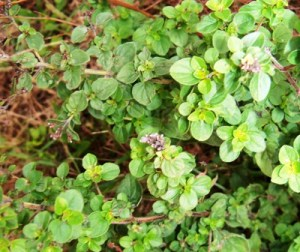 June's organically grown oregano from her garden